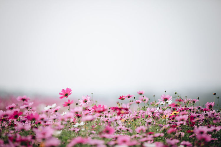 Cosmos Flower Cosmos Cosmos Field Wallpaper Backgrounds Flower Freshness Pink Color Flowering Plant Plant Beauty In Nature Copy Space Nature Tranquility Fragility Vulnerability  No People Selective Focus Day Petal Water Growth Close-up Outdoors Tranquil Scene Springtime Flower Head