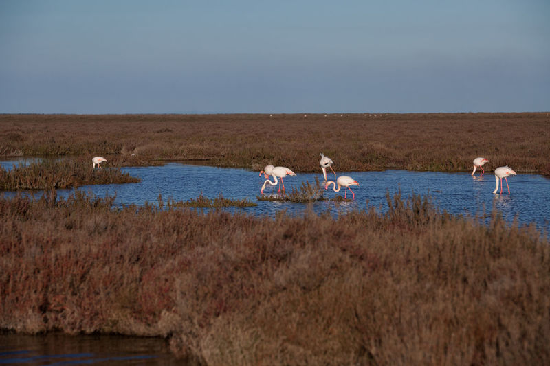 Wild flamingos in the swamps, Camargue, France Beauty In Nature Birds Blue Day Flamingo Grass Idyllic Landscape Natural Nature Non-urban Scene Outdoors Plant Remote Rippled Scenics Sky Swamp Tranquil Scene Tranquility Water Water Birds Wildlife