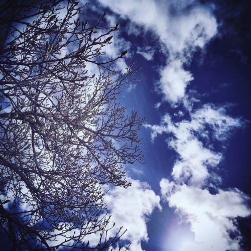 Blue Sky Clouds And Sky Cloudporn Clouds Magnolia Magnolia Tree MagnoliaTree Showcase March Springtime