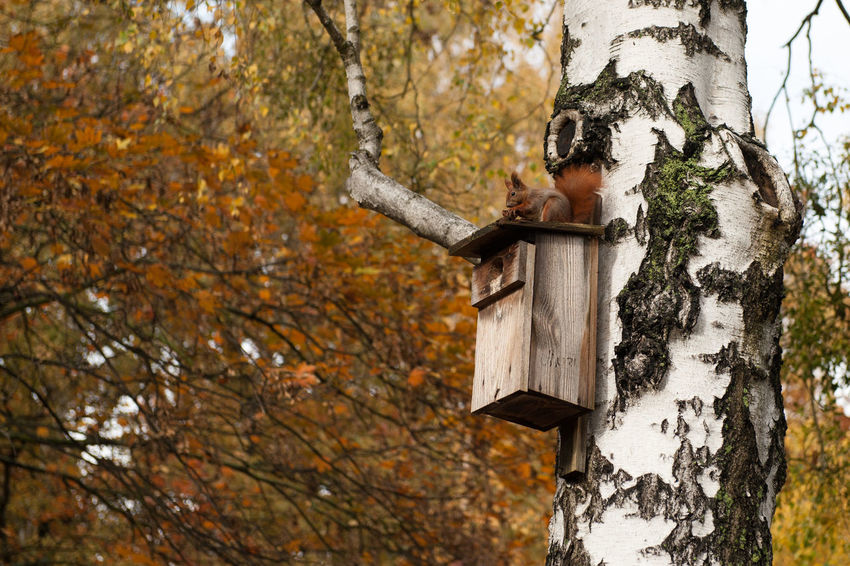 Squirrel on the birdhouse Animal Themes Autumn Beauty In Nature Branch Day Forest Leaf Nature No People Outdoors Squirrel Tranquility Tree Tree Trunk Wood - Material Woodpecker