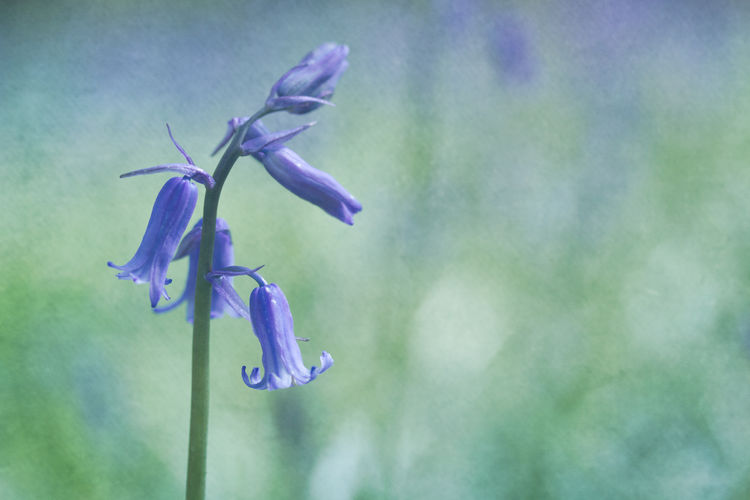 Bluebell Bluebells Flora Floral Flower Flowers Nature Nature Photography Purple Spring Springtime WoodLand The Great Outdoors - 2017 EyeEm Awards
