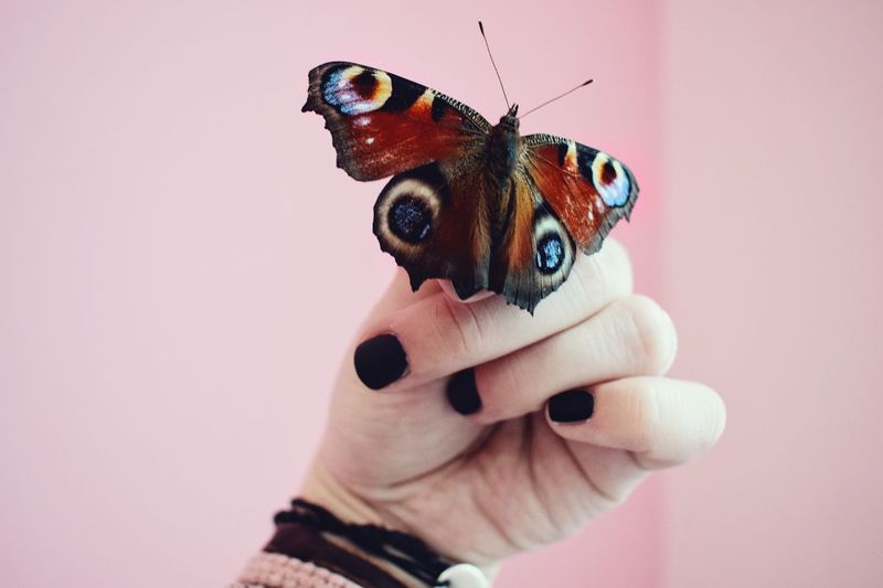 Close-up of hand holding butterfly against pink background