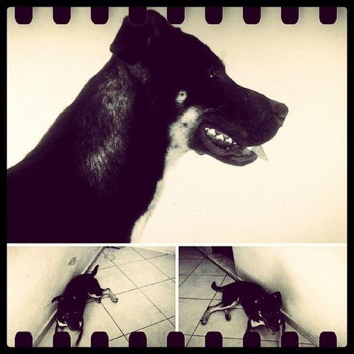 Akeem, meu parceiro e príncipe de Zamunda. Pet Dog Instakeem Akeem