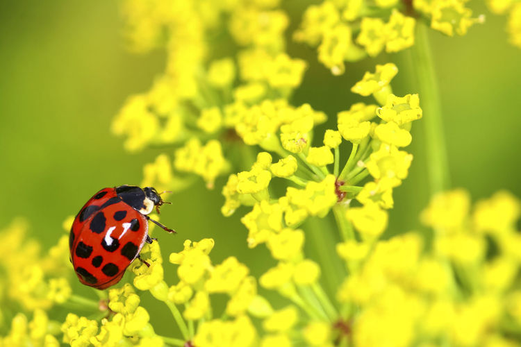 Close up of a ladybird walking on a parsnip plant Bug Gardening Green Plant Red Spotted Animal Themes Animals In The Wild Beauty In Nature Fragility Garden Insect Ladybird Ladybirds Ladybug Macro Nature No People One Animal Parsnip Plant Spot Spots Sunny Day Warm Weather Wildlife