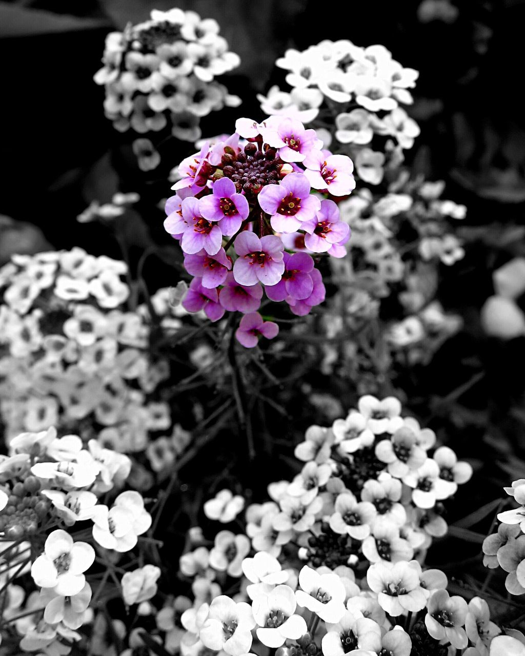 flower, fragility, freshness, beauty in nature, nature, growth, petal, flower head, outdoors, day, no people, plant, focus on foreground, blooming, purple, close-up, pink color, animal themes