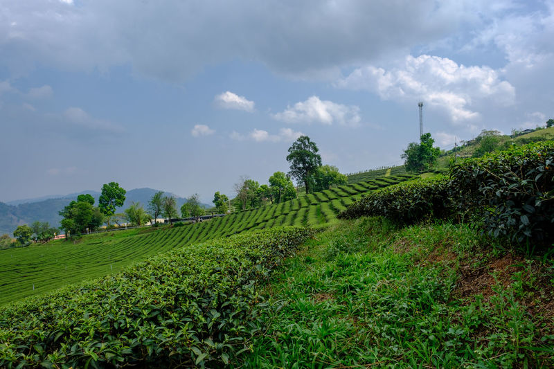 Tea plantation in Mae Salong, Thailand. Chiang Rai Mae Salong Thailand Agriculture Beauty In Nature Environment Field Grass Green Color Growth Land Landscape Nature No People Outdoors Plant Plantation Rural Scene Scenics - Nature Sky Tea Crop Tea Plantation  Tranquil Scene Tranquility Tree