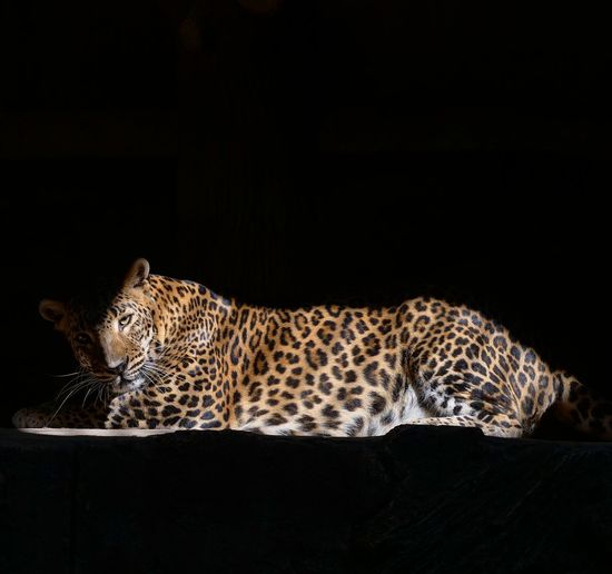 View of sri lanka leopard against black background and thin sun light passing through the cage