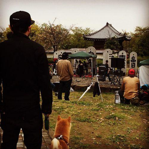 地元で野外フェスやってたよ。 野外フェス 野外ステージ 柴犬 Shibainu 犬 Dog