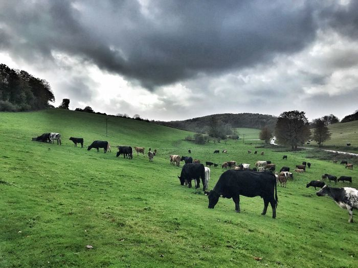 Cow Landscape Animal Themes Grass Sky Cattle Field Domestic Animals Cloud - Sky Mammal Grazing Nature Livestock No People Tranquility Tranquil Scene Large Group Of Animals Day Farm Animal Outdoors