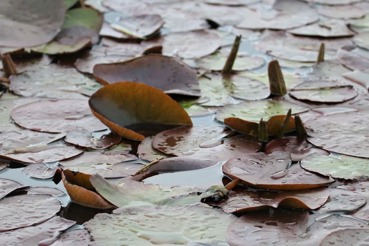 Close-up of lotus leaves floating on water