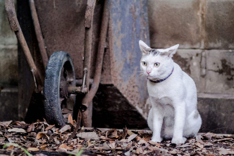 Cat Animal Themes Cat Domestic Animals Domestic Cat Farm Life Mammal No People One Animal Outdoors Pets Portrait