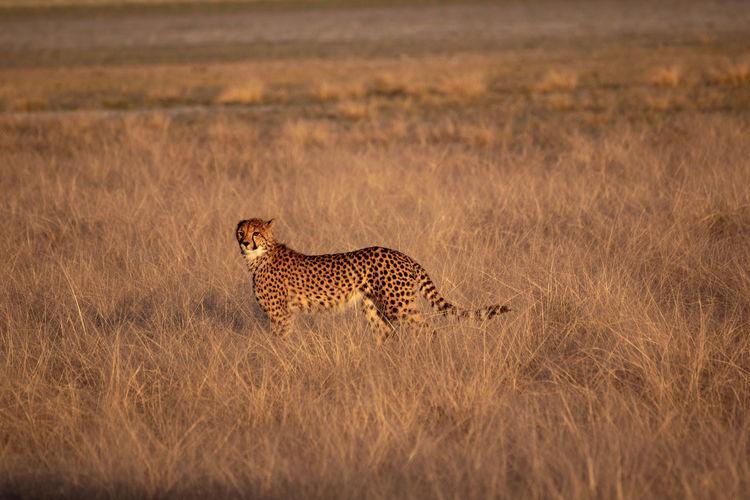 Cheetah in a grass