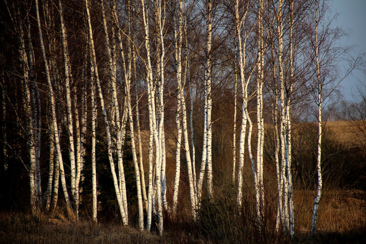 birch trees in evening light Abundance Backgrounds Beauty In Nature Birch Forest Birch Trees Birkenhain Forest Full Frame Growing Growth Idyllic Landscape Nature Non-urban Scene Outdoors Remote Scenics Sky Slim Birch Trees Tranquil Scene Tranquility Tree Tree Trunk WoodLand