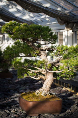 Botanical Gardens Japanese Culture Japanese Garden Japanese Style Kew Kew Gardens Nature Tree Bonsai Bonsai Tree Botanic Flora Green Color Growth Plant Small Tree Tree