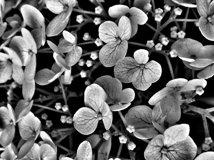 Blackandwhite Flower Nature hydrangea