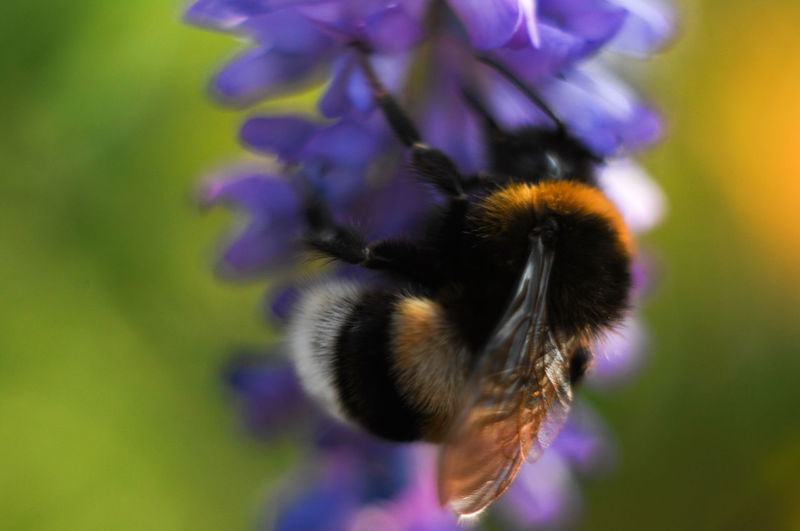 Beauty In Nature Bumblebee Close-up Flower Insect Selective Focus