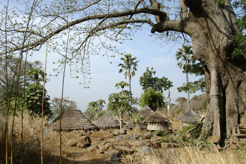 Ibel & Iwol traditional villages Senegal Traditional Culture African Village Bassari Bassari Country Branch Day Growth Iwol Nature No People Outdoors Scenics Senegal Traditional Tranquil Scene Tranquility Tree Tree Trunk Village Village View