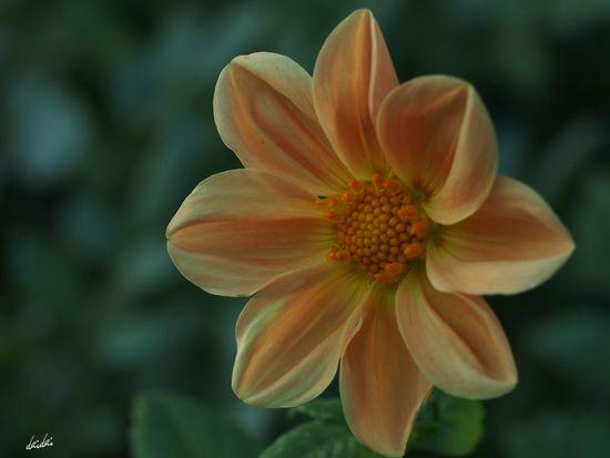 ウィンクが下手なコ E-PL3 Flower Dahlia No Edit/no Filter