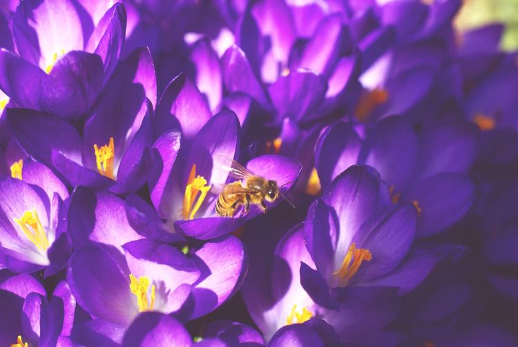 Bee with crocuses Spring Crocus Bee Flowering Plant Flower Petal Plant Beauty In Nature Purple Freshness Fragility Flower Head Vulnerability  Close-up Growth Insect Animal Wildlife One Animal Nature Animal Themes Inflorescence