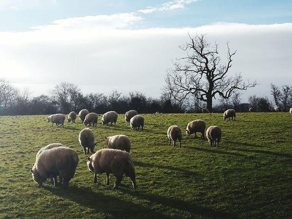 Sheep Wintry Tree Lone Tree Animals Beautiful
