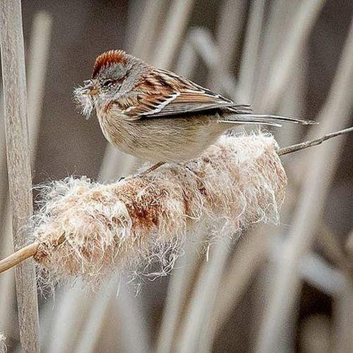 Tree Sparrow gathering nest material TreeSparrow Sparrows Ig_discover_wildlife Ig_discover_birdslife Your_best_birds Nature Wildlifephotography TeamCanon 7dii