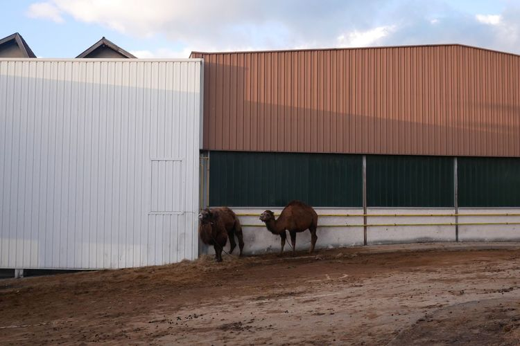 EyeEm Selects Camels