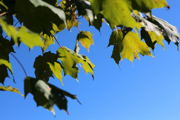 Autumn Beauty In Nature Blue Branch Clear Sky Close-up Day Green Color Growth Leaf Low Angle View Maple Maple Leaf Nature No People Outdoors Sky Tree EyeEmNewHere