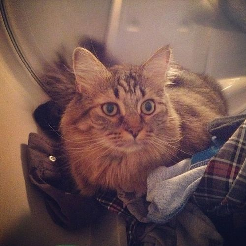 Angelo helping with the laundry.Cats Catsofinstagram Helper Handsome kitty catoftheday fluffy