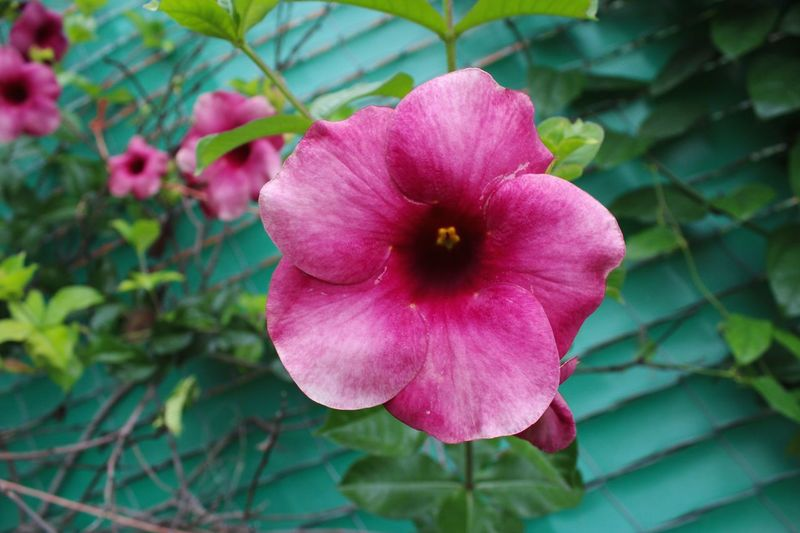 Flower Head Flower Petunia Pink Color Petal Close-up Plant Wild Rose Rose Hip Plant Life Blossom Single Rose Orchid Botany Magnolia Focus Rhododendron Stamen Hibiscus Cherry Blossom Cherry Tree In Bloom Apple Blossom Pistil Flowering Plant