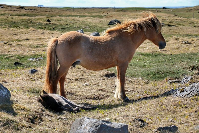 Motherslove Protecting Her Foal Mare Iceland_collection Iclandic Horses Hvalsnes Animal_collection Horse Photography