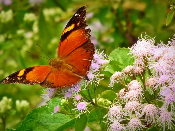 Butterfly Butterfly And Flowers Beauty In Nature Nature Phonetography Zenfone5 Bandung