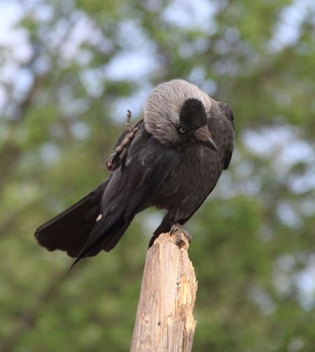 Animal Wildlife Animal Themes Animal Animals In The Wild Vertebrate Bird One Animal Perching Wood - Material Nature Day Focus On Foreground No People Wooden Post Outdoors Low Angle View Full Length Crow Western Jackdaw Jackdaw Scratching Scratching Head