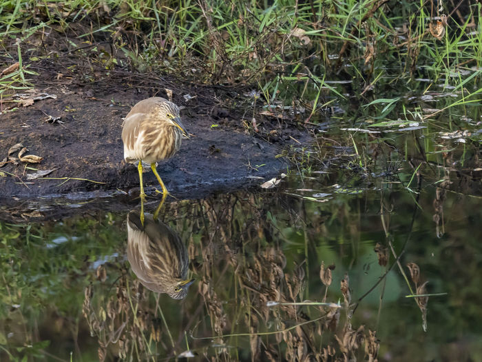 Indian Pond Heron (Ardeola grayii) Animal Wildlife Animals In The Wild Bird Animal Themes Animal One Animal Vertebrate Water Lake Plant Nature Perching Reflection Day No People Heron Grass Beauty In Nature Water Bird Outdoors