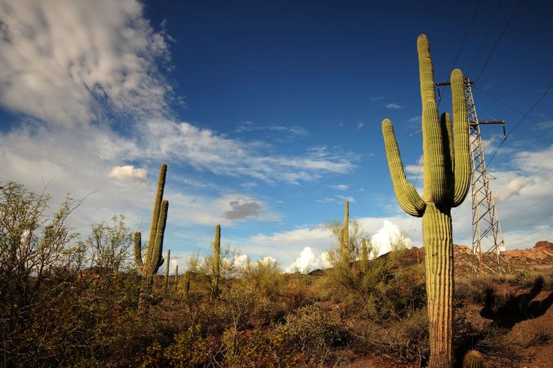 Saguaro cacti in the massacre grounds trail Plant Sky Cactus Succulent Plant Growth Nature Cloud - Sky Saguaro Cactus Land Field Tranquility No People Beauty In Nature Day Scenics - Nature Outdoors Tranquil Scene Sunlight Environment Blue
