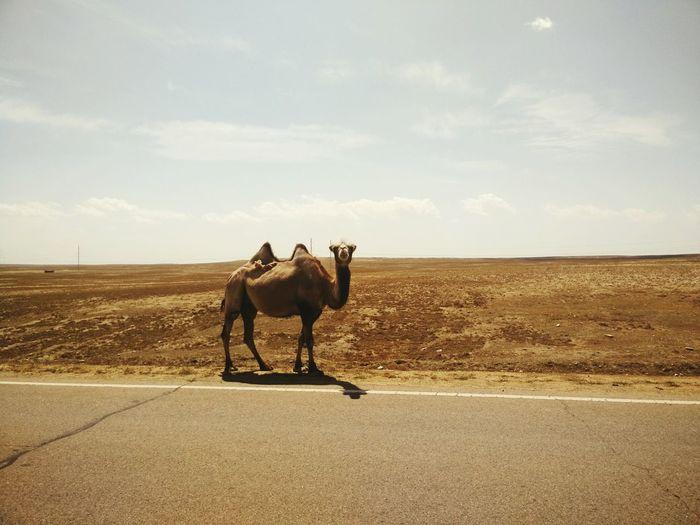Camel Standing In Road In Desert