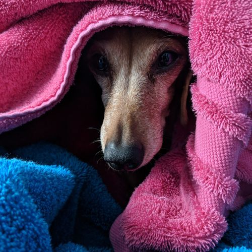 Close-up portrait of dog covered with towels