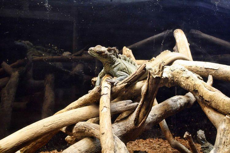 Lizard hanging