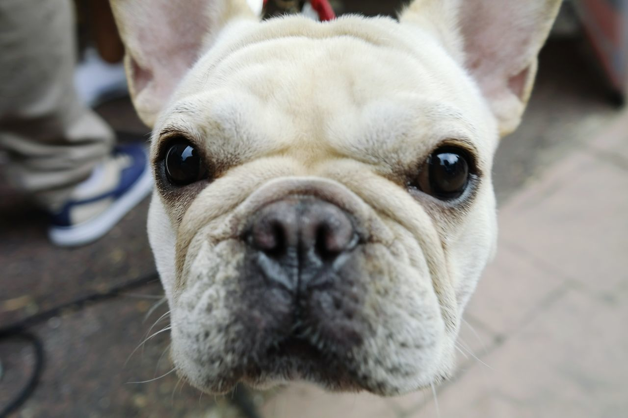 dog, one animal, canine, pets, domestic, mammal, domestic animals, vertebrate, looking at camera, portrait, close-up, focus on foreground, animal body part, no people, french bulldog, high angle view, small, snout, animal mouth, animal nose