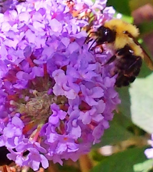 Bumblebee Wildlife Photography Close Up Potted Plant Purple Flower Break From Work