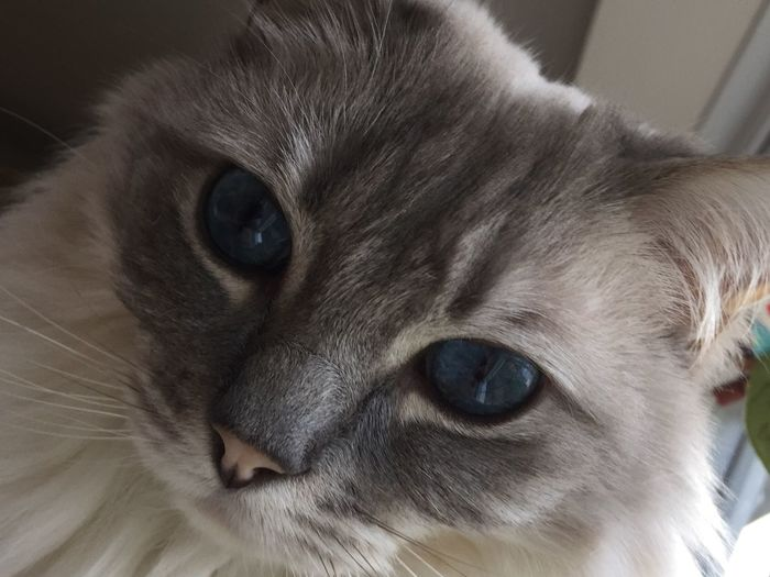 Close up of The Alfie Ragdoll Cat Alfie Close Up My Boy Bless Him Love