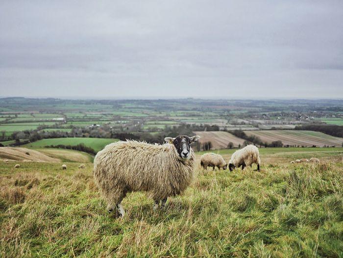 Sheep standing on grassy landscape against sky