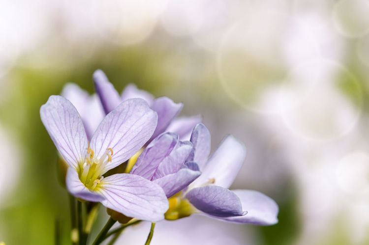 A delicate pink sign of spring - pink-colored cuckooflower Beauty In Nature Blooming Bokeh Close-up Cuckoo Cuckoo Clock Cuckooflower Day Delicate Flower Flower Head Fragility Freshness Growth Macro Macro Beauty Macro Photography Macro_collection Nature No People Outdoors Petal Plant