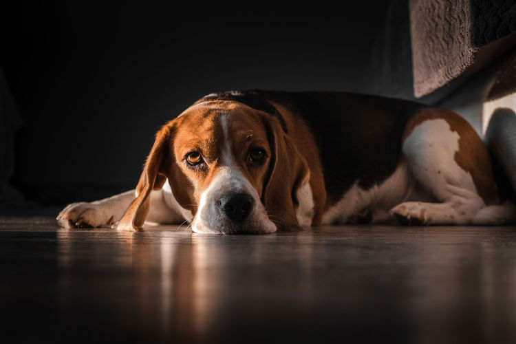 Beagle dog lies on the floor in the house, muzzle on the floor, sad, bored look