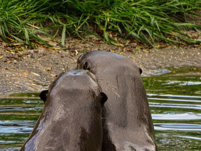 Animal Themes Animal Wildlife Animals In Love Animals In The Wild Close-up Day Domestic Animals Focus On Foreground Giant Otter Hippopotamus Lake Mammal Nature No People One Animal Outdoors Swimming Two Animals Water