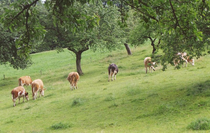 Slovenia Slovenia Scapes Animal Themes Beauty In Nature Cow Day Domestic Animals Field Full Length Grass Grazing Green Color Growth Landscape Large Group Of Animals Livestock Mammal Meadow Nature No People Outdoors Pohorje Rural Scene Tranquility Tree Perspectives On Nature
