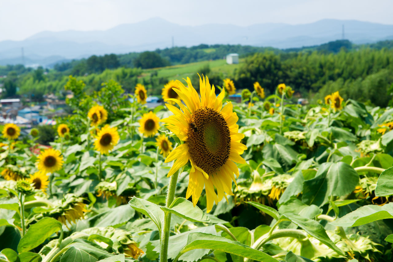 Sunflowers Blooming In Farm