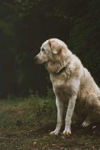 Canon Photography Pet Photography  Maremma One Animal Animal Themes Mammal Animal Canine Dog Domestic Animals Pets Domestic Vertebrate Looking Away No People Looking Sitting Nature Day Land Side View Outdoors
