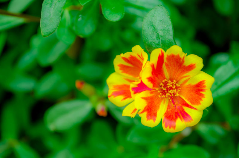 Green Portulaca Oleracea Beauty In Nature Blooming Close-up Day Flower Flower Head Fragility Freshness Growth Little Hogweed Nature No People Outdoors Petal Pigweed Plant Purslane Pusley Small Verdolaga Yellow
