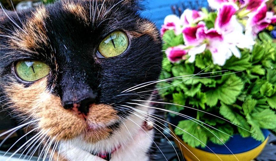 Sugar Plum Cats Cats Of EyeEm Cat Photography Pets Green Eyes Alertness Tortoiseshell Cat Queen Cat Pretty Cat Flower Pot