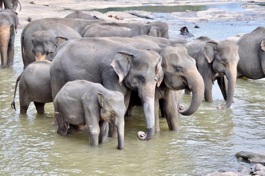 Animal Baby Elephant Baby Elephants Playjng Bathing Bathing Elephants Elephant Elephant Orphanage Indian Elephant Maha Oya Mammal Nature No People Outdoors Pinnawala Elephant Orphanage Togetherness Young Animal Travel